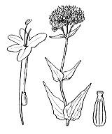 Photographie n°1723 du taxon