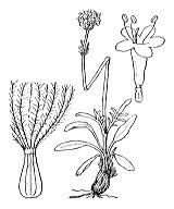 Photographie n°1731 du taxon