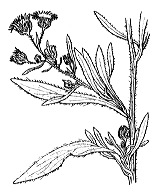 Photographie n°1798 du taxon