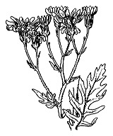 Photographie n°1826 du taxon