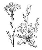 Photographie n°1832 du taxon