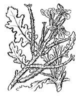 Photographie n°185 du taxon