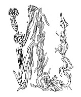 Photographie n°1891 du taxon
