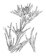 Photographie n°1897 du taxon