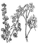 Photographie n°1908 du taxon