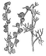 Photographie n°1909 du taxon