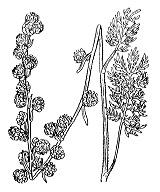 Photographie n°1916 du taxon