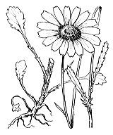Photographie n°1939 du taxon