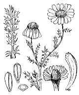 Photographie n°1950 du taxon