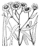 Photographie n°1969 du taxon