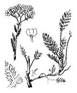 Photographie n°1980 du taxon