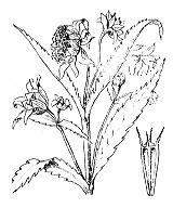 Photographie n°1987 du taxon
