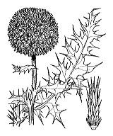 Photographie n°1993 du taxon