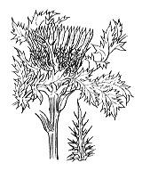 Photographie n°2004 du taxon