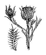 Photographie n°2013 du taxon