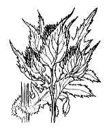 Photographie n°2030 du taxon