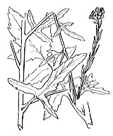 Photographie n°205 du taxon