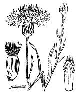 Photographie n°2062 du taxon