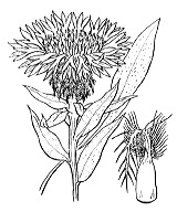 Photographie n°2078 du taxon