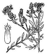 Photographie n°2088 du taxon
