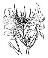 Photographie n°211 du taxon