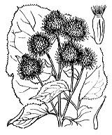 Photographie n°2114 du taxon