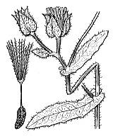 Photographie n°2150 du taxon