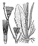 Photographie n°2201 du taxon