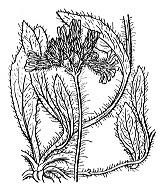 Photographie n°2239 du taxon