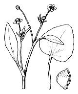 Photographie n°23 du taxon