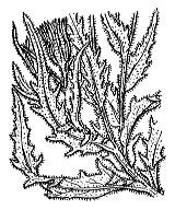 Photographie n°2305 du taxon