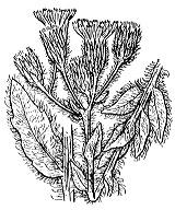 Photographie n°2314 du taxon