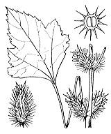Photographie n°2317 du taxon