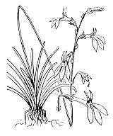 Photographie n°2322 du taxon