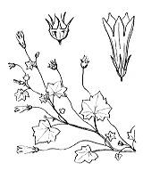 Photographie n°2325 du taxon