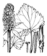 Photographie n°2339 du taxon