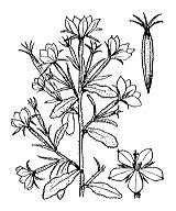 Photographie n°2343 du taxon