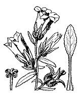 Photographie n°2346 du taxon