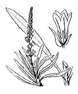 Photographie n°2353 du taxon