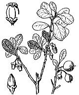 Photographie n°2373 du taxon