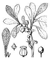 Photographie n°2377 du taxon