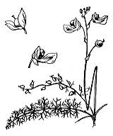 Photographie n°2405 du taxon