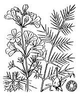 Photographie n°2407 du taxon