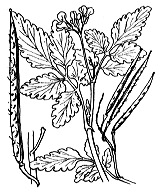 Photographie n°241 du taxon