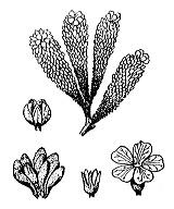 Photographie n°2421 du taxon