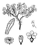 Photographie n°2424 du taxon