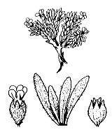 Photographie n°2425 du taxon