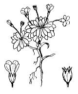 Photographie n°2427 du taxon