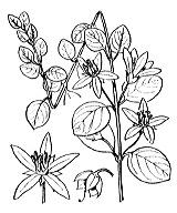 Photographie n°2449 du taxon
