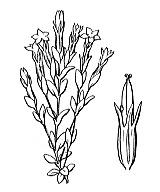 Photographie n°2504 du taxon